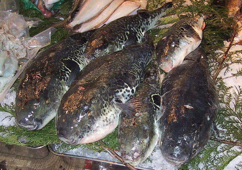 Torafugu sold at Tsukiji fish market