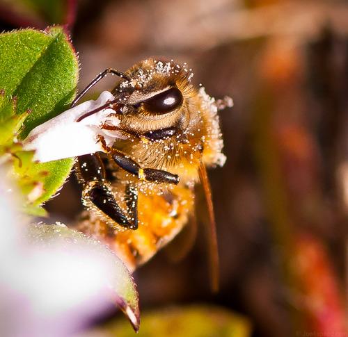 Buzzing Bee - Photo credit Robert.