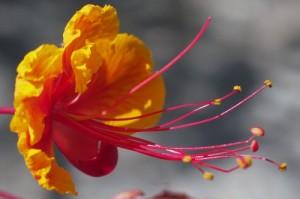 Desert Flower macro - Photo credit Paul Racicot