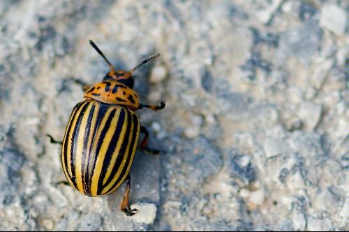 Black and yellow beetle - Photo credit V Jacinto