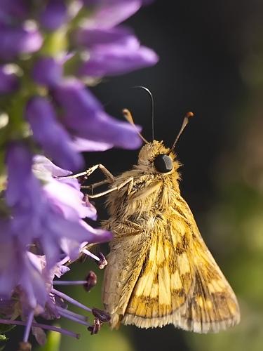Butterfly macro - photo credit Toro Rojo