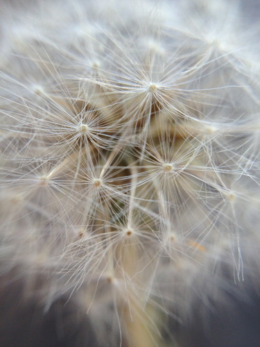 Dandelion macro - Shot with mobile camera and macro attachment - Photo credit S Kirkpatrick