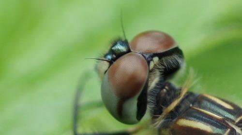 Insect eyes macro - Photo credit Amner
