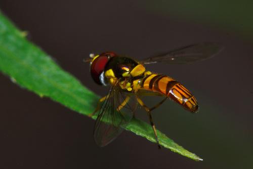 Flower fly macro - Photo credit Jon