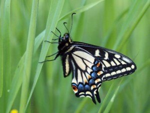 Swallowtail Butterfly Macro - Photo credit Mattaphore
