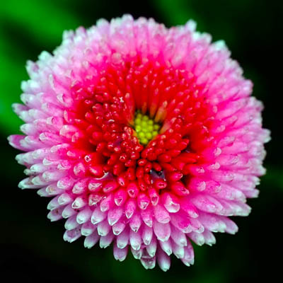 Bellis Polar Red macro - Shot with Fujifilm 60mm Macro lens - Photo credit OD