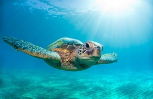 Sea turtle photo - Photo credit: Monica Sweet