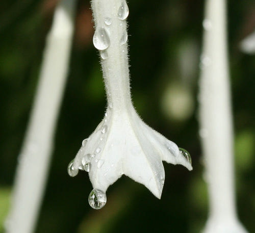 Dew drops macro - Photo credit Snowstar