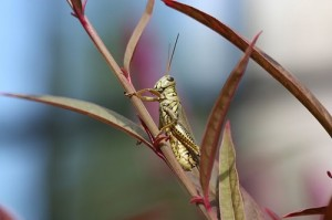 Grasshopper macro - Photo credit Tammy Davis
