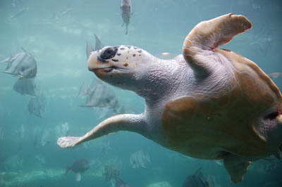 Loggerhead Sea Turtle - Photo credit Ukanda
