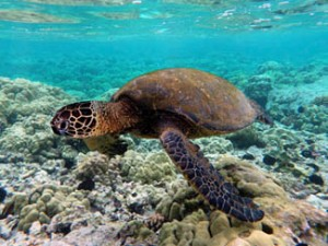 Green turtle - Photo credit Brocken Inaglory - Wikimedia Commons