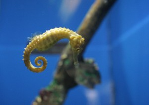 Lined Seahorse - Photo credit Wikimedia Commons