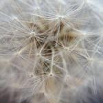 Dandelion macro - Shot with mobile camera and macro attachment - Photo credit S Kirkpatrick
