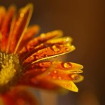 Flower macro - Photo credit Hamser