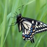 Swallowtail Butterfly Macro - Photo credit Mattaphore