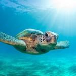 Sea turtle photo - Photo credit: Monica Sweet