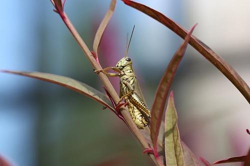 Grasshopper macro - Photo credit Tammy Davis