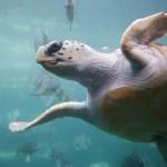 Loggerhead Sea Turtle - Photo credit Ukanda